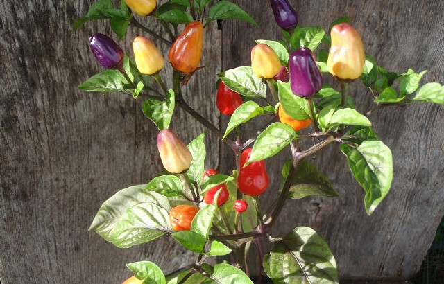 chili bolivian Rainbow