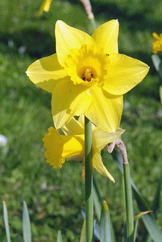 vermehren sich tulpen von selbst