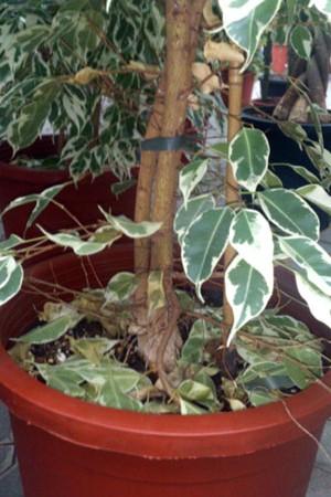 Lichtmangel Ficus benjamin