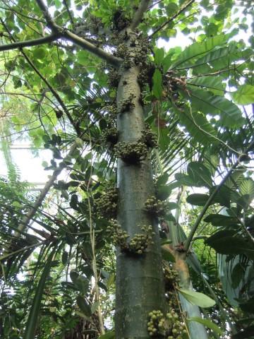 Stammblüher Cynometra cauliflora