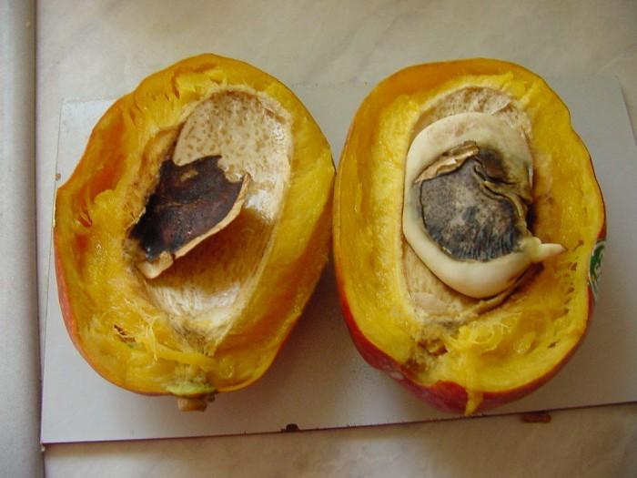Mangokern ohne Hülle mit kleiner Wurzelspitze