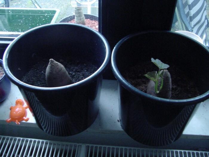 Süßkartoffeln, links in normaler Erde, rechts in POPup-Erde