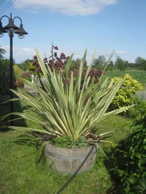 Warum eigentlich immer Palmen? Phormium tenax variegata sieht doch auch gut aus oder?