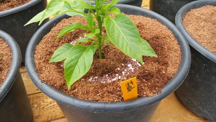 Dünger für die Chili-Pflanze