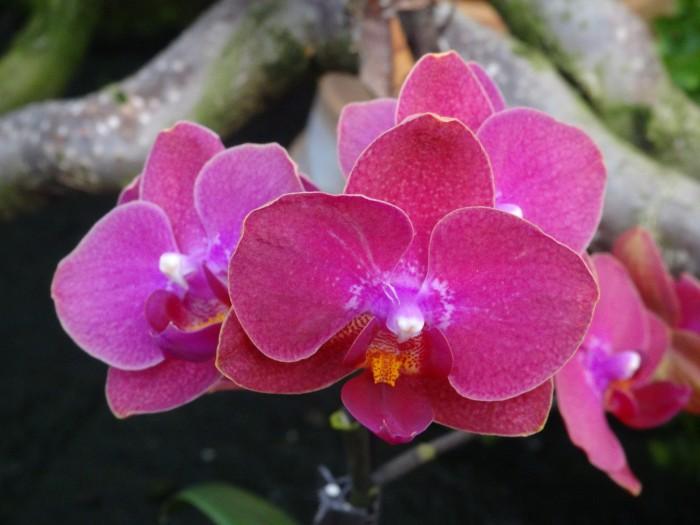 Blüten einer Phalaenopsis-Mjultihybride