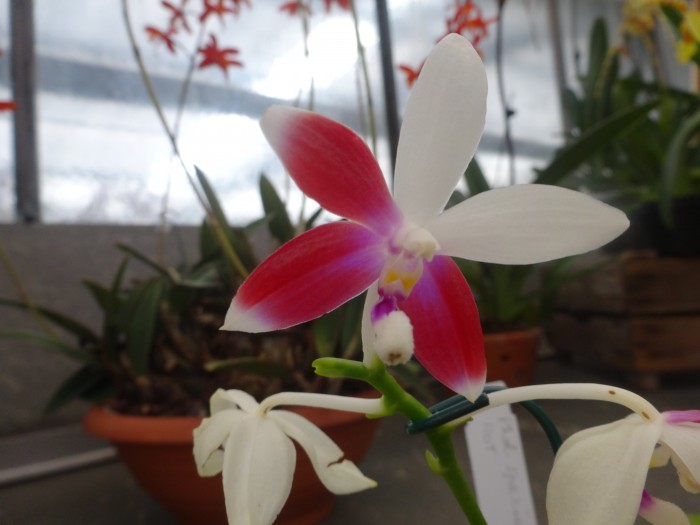 Blüten einer Phalaenopsis-Naturform