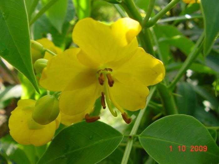 Blühende Cassia