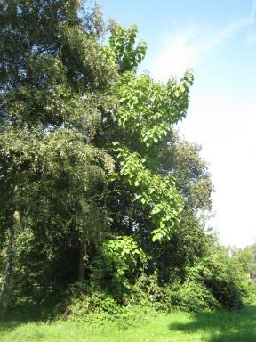 Blauglockenbaum/Paulownia tomentosa