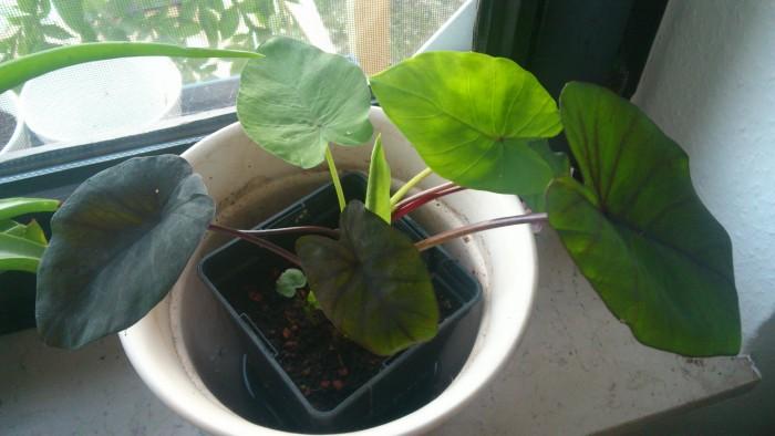 Colocasia Black Magic wird grün