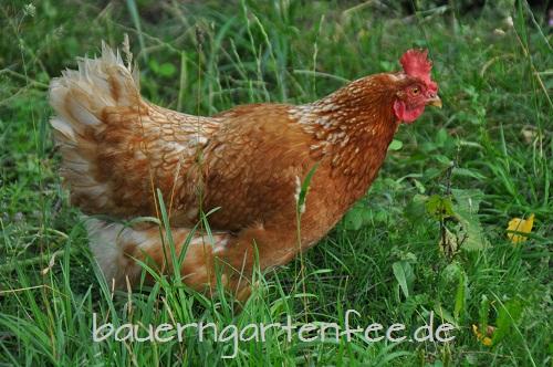 Huhn - noch ohne Warnweste