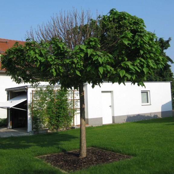 Vericillium-Welke am Catalpa - @ Berliner Pflanzendoktor