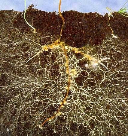 Prinzip der Mykorhizza - @ Berliner Pflanzendoktor
