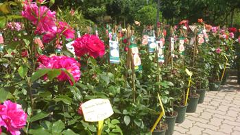 Impression Rosenbeet @ Berliner Pflanzendoktor