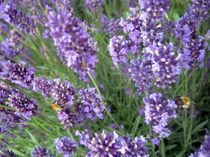 Auch Lavendelblüten lassen sich versiruppen