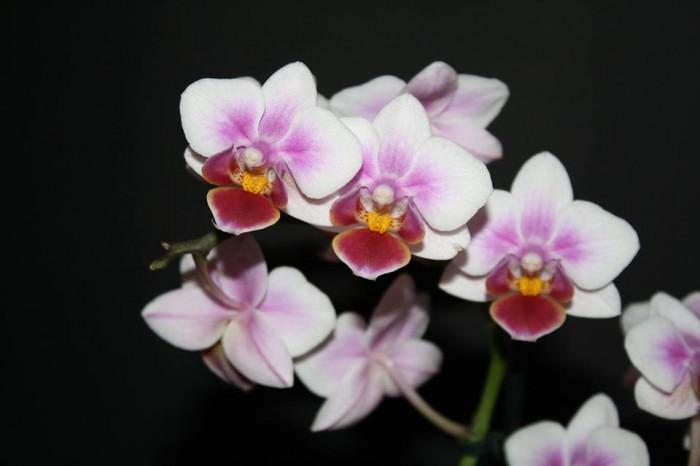 Phalaenopsis Multihybride