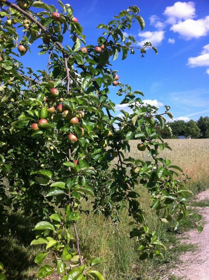 Äpfel am Wegrand
