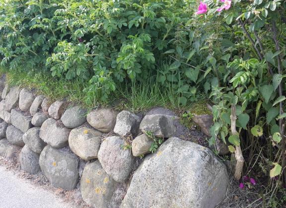 Friesenwall Bepflanzen sylt rosa rugosa