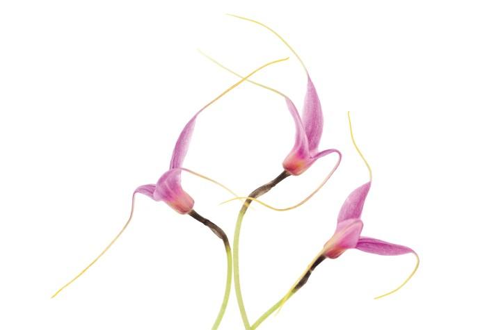 Masdevallia lilacina - Micha Pawlitzki & Edition Panorama