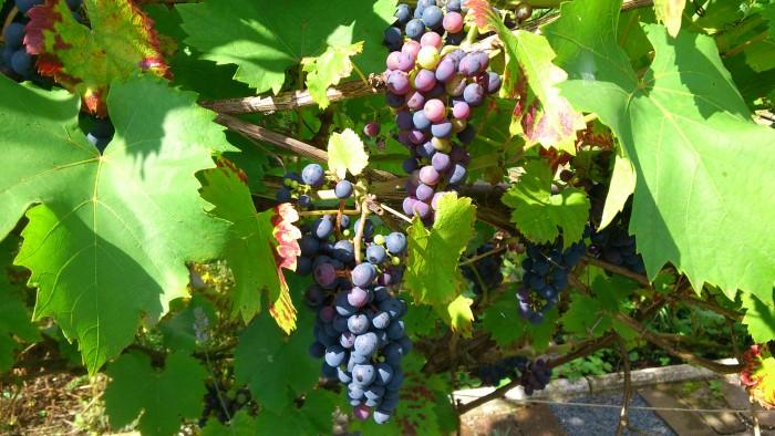Echter Duisburger Weintrauben. Ob das wohl einen schönen Rotwein ergeben würde?