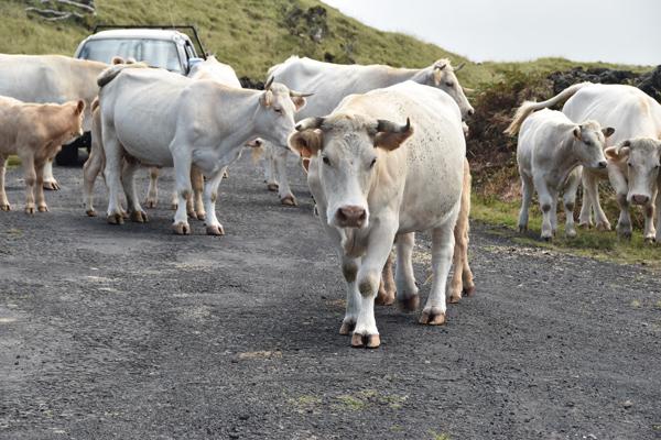 Glückliche Kühe von Azoren