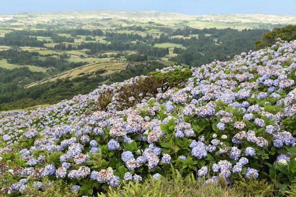 Azorianische Hortensien