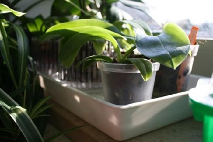 Orchideen-Luftfeuchtigkeit