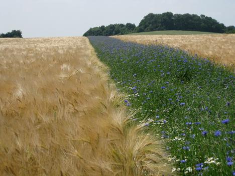 bluehstreifen