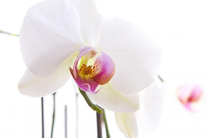 orchideen richtig w ssern diese rombergs. Black Bedroom Furniture Sets. Home Design Ideas