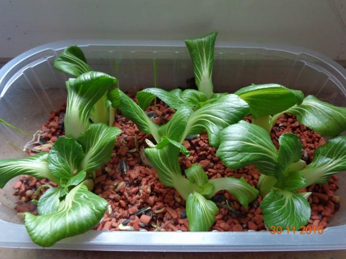 Salat von der Fensterbank