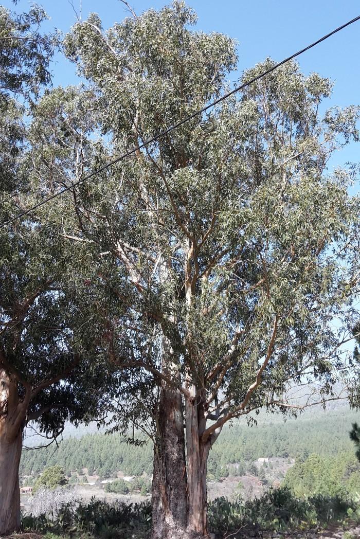 Eukalyptus, mediterrane Gehölze