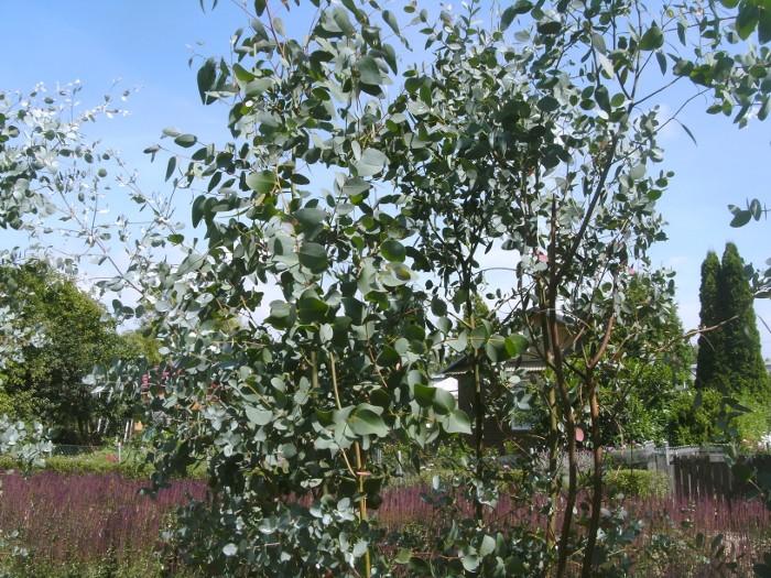 Eukalyptusstrauch, winterharter