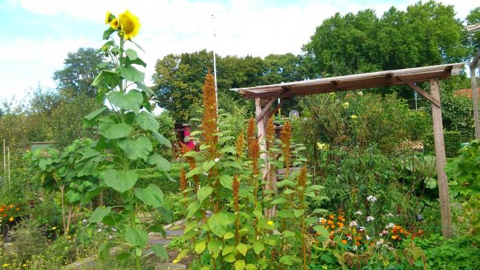 Der Amaranth wächst mit der Sonnenblume um die Wette