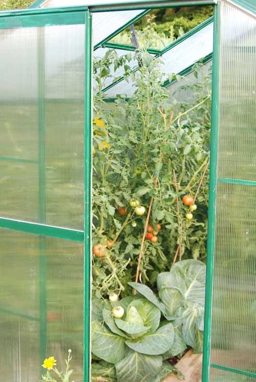 Kohl mit Tomaten im Gewächshaus
