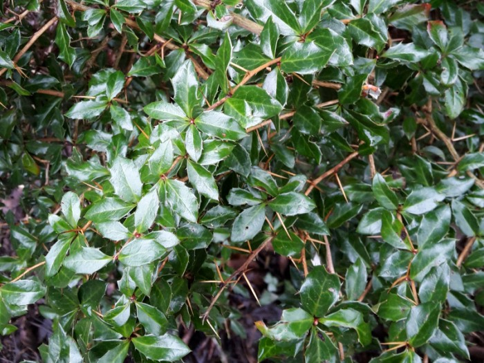 Alternative zum Buxus sempervirens