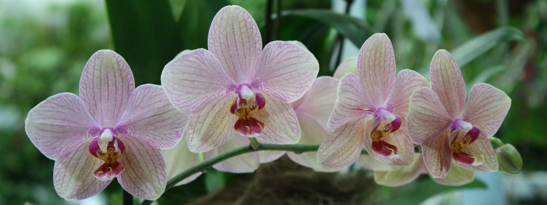 die 5 h ufigsten fragen und antworten zu orchideen diese rombergs. Black Bedroom Furniture Sets. Home Design Ideas