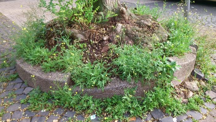 Ob man es glaubt oder nicht. Die wilde Rauke wächst hier überall, also muss der Boden wie beschaffen sein?