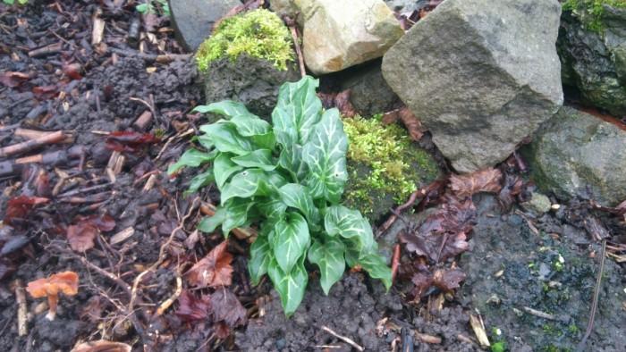 Lilum, larum, Arum maculatum. Ich habe in Bielefeld mehrfach versucht den im Garten anzusiedeln und was war: Hier in Duisburg ist er von alleine im Garten aufgetaucht. Steht übrigens unter Natirschutz, also nicht einfach ausbuddeln
