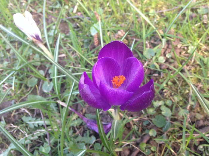 Krokus lila 2