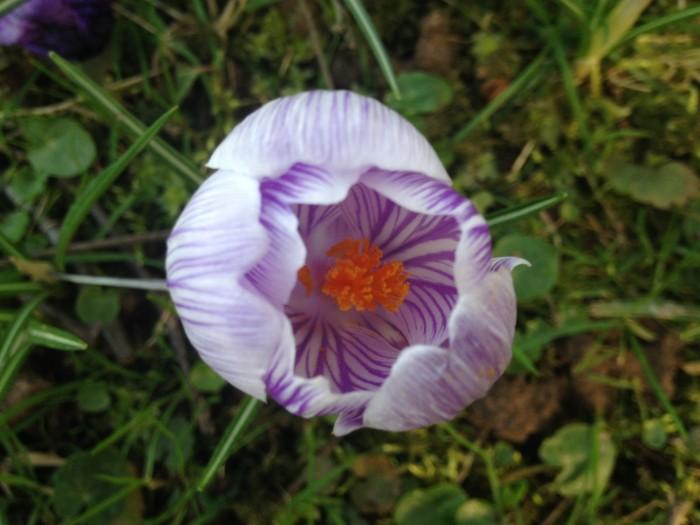Krokus weiß lila