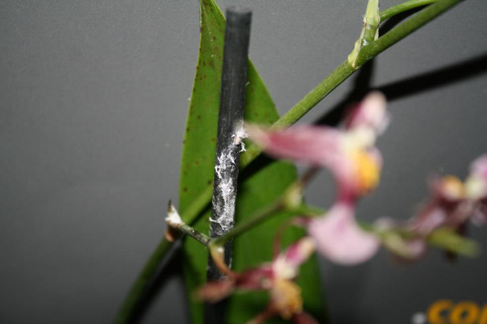 Orchidee verliert blätter