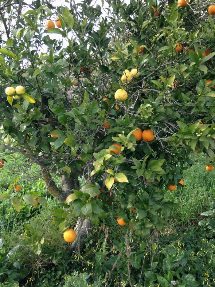 Baum Orange mit Zitrone