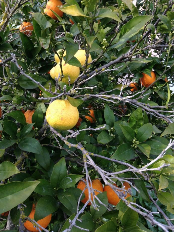 Baum Orange mit Zitrone nah