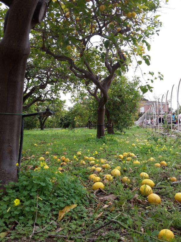 Zitronenbäume mit üppig Fallobst