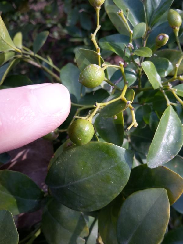 Tiny Citrus, aber keine Kumquats