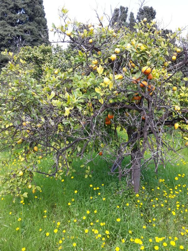 Sizialanische Citrusfrüchte