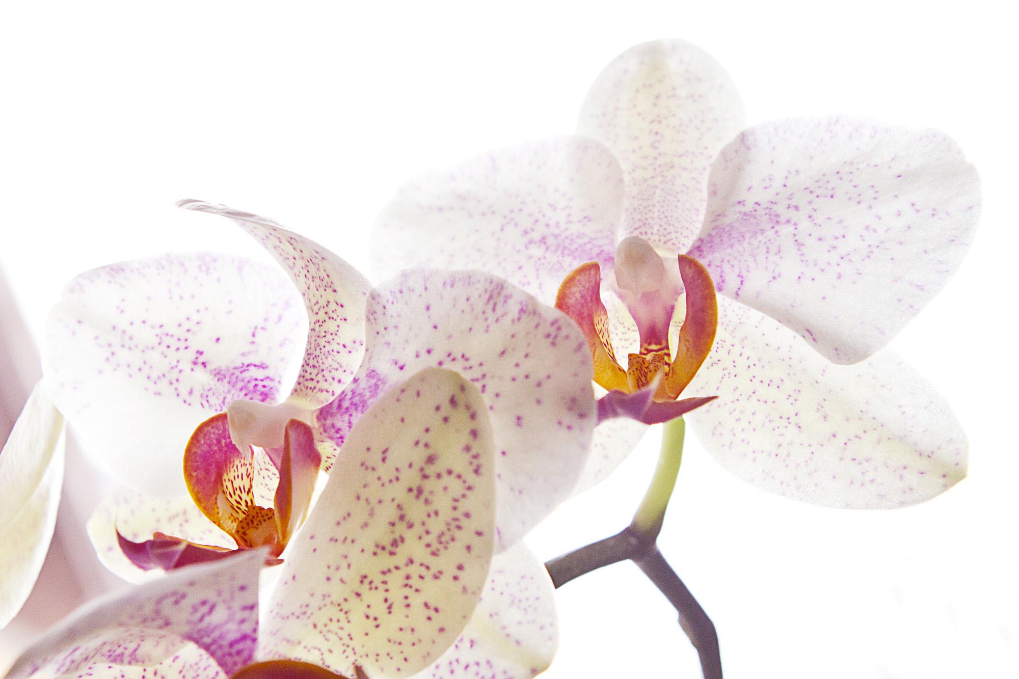 orchidee verbl ht orchidee eigenartige dendrobium luftwurzeln pflanzen orchideen der gr ne. Black Bedroom Furniture Sets. Home Design Ideas