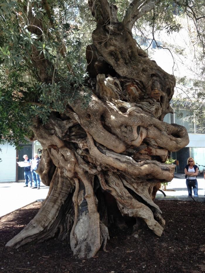 Olivenbaum La Palma