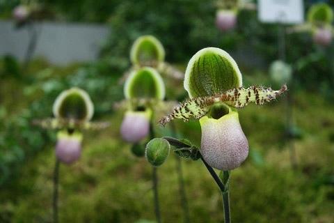 frauenschuh orchidee kaufen