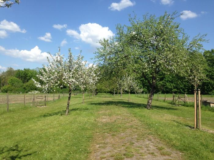 Kirsch- und Apfelbaum