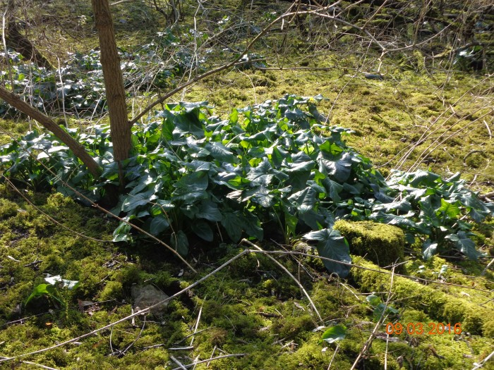 Diese Pflanzen sind typische Waldpflanzen und gehören zu den Aronstäben. Gut zu wissen oder?